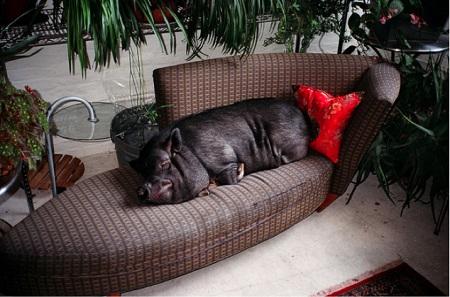 lounge pig